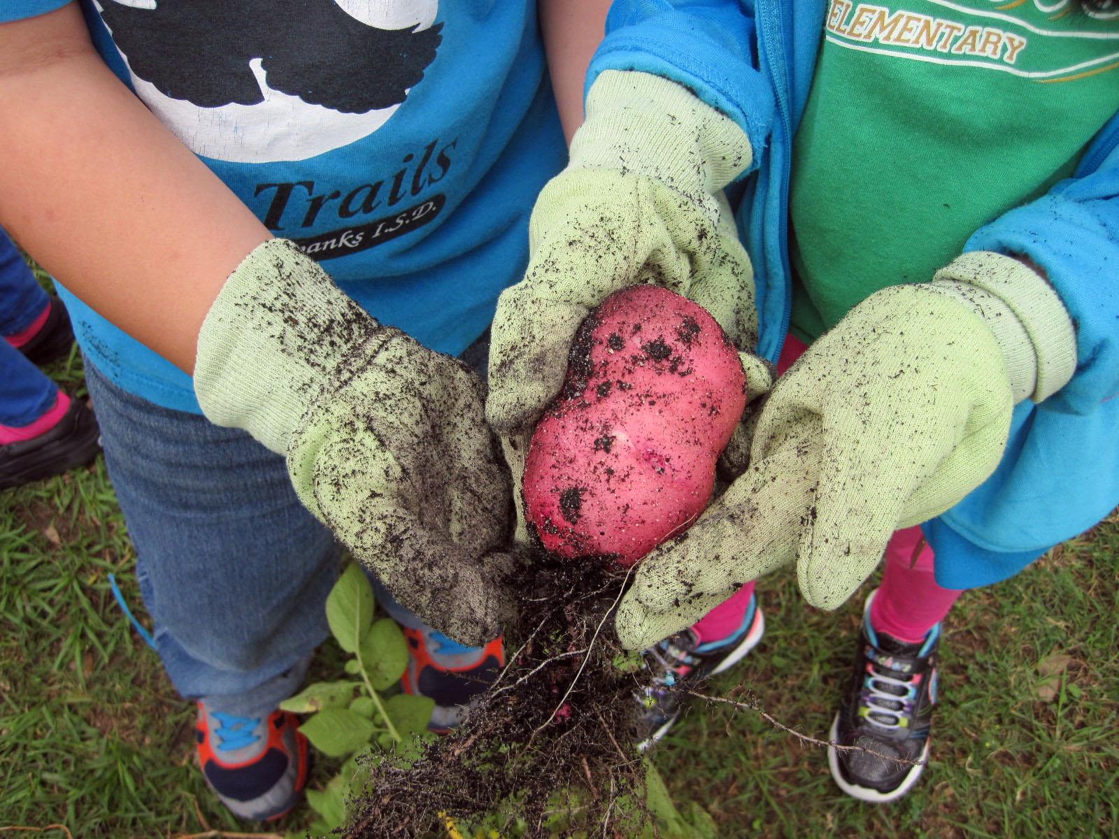 At Bang Elementary, red potato harvest