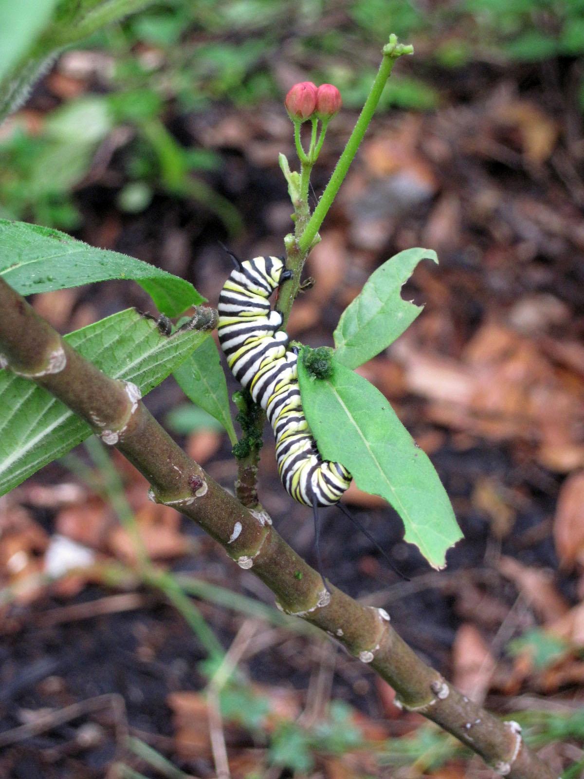 At Bang Elementary, Monarch catapillar