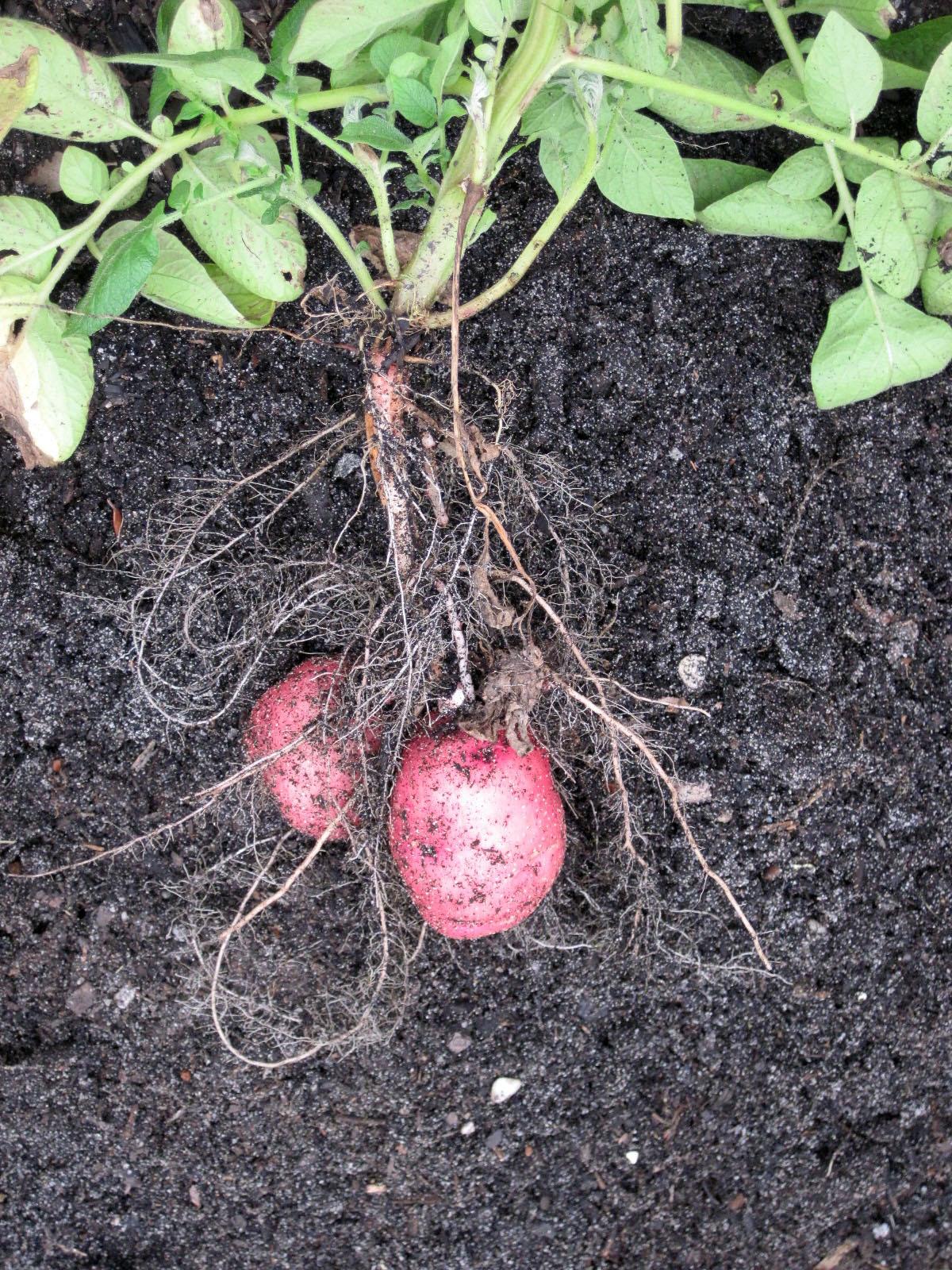 At Bang Elementary, Red potato plant