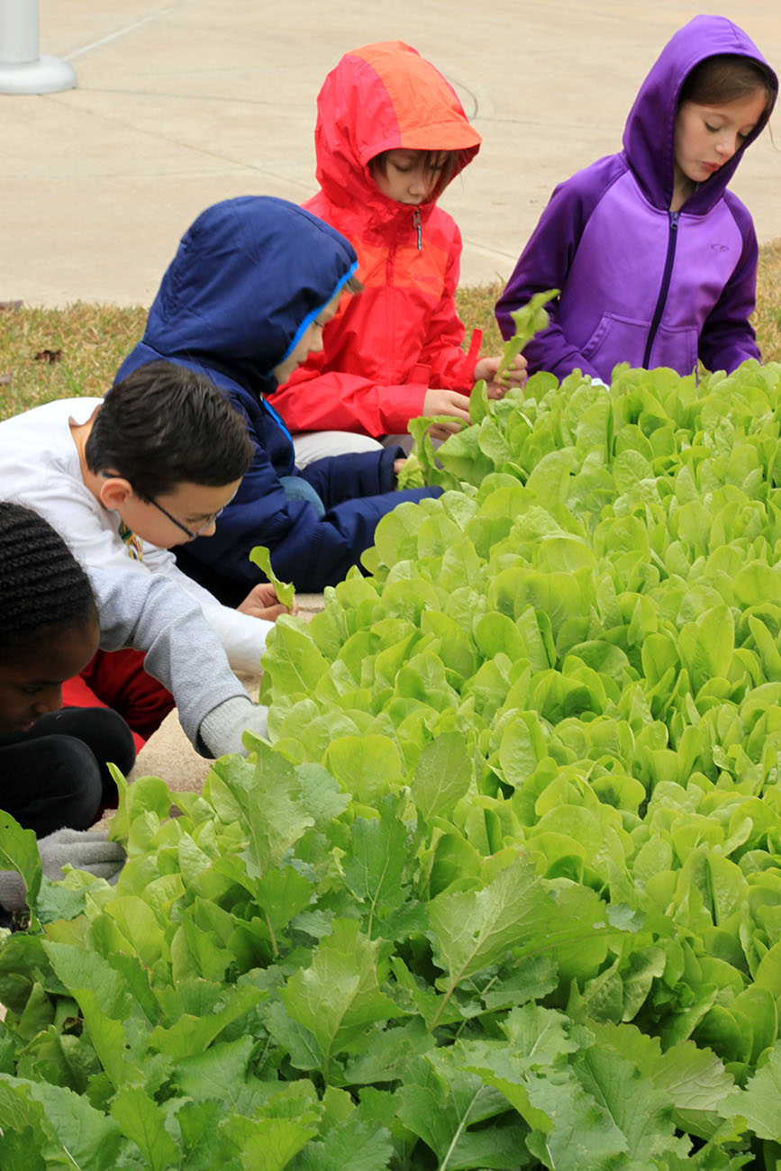 At Warner Elementary, Fun lettuce harvest