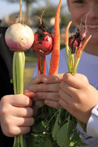 At Warner Elementary, Fall harvest - turnip, carrots, and radish