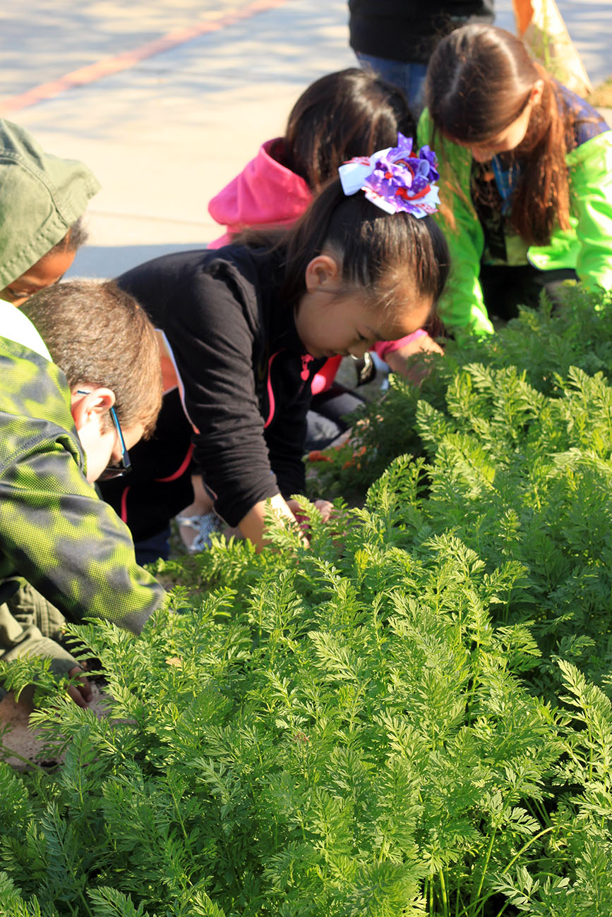 At Warner Elementary, Exciting carrot harvest