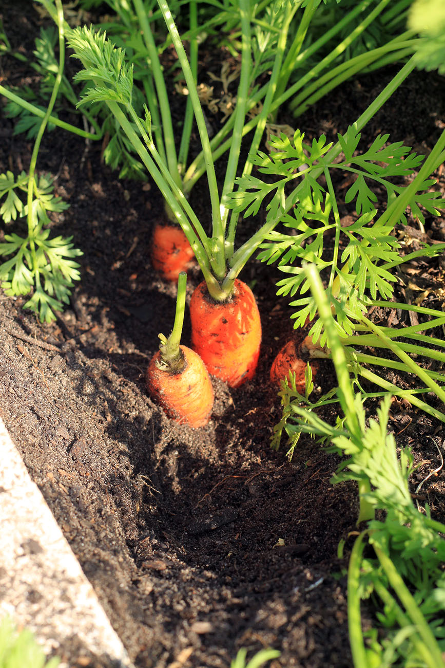 At Warner Elementary, Carrots