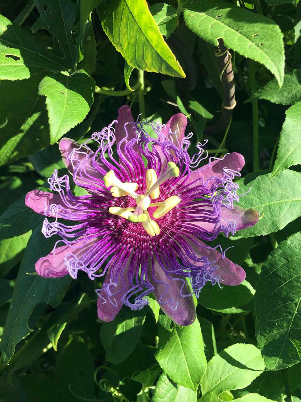 At Warner Elementary, Purple Passionflower attracts Gulf Fritillary butterflies